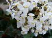 Begonia10