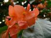 Begonia12