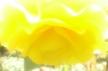 Begonia14
