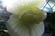 Begonia2_1