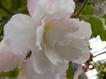 Begonia4