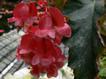 Begonia6